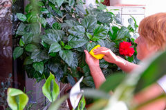 Household concept of takes care of indoor plants. Adult female hands wipes a rag a blooming hibiscus plant. on her balcony. Select Stock Photography