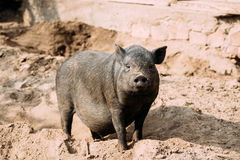 Household A Large Black Pig In Farm. Pig Farming Is Raising And Breeding Of Domestic Pigs Royalty Free Stock Photography