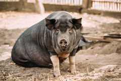 Household A Large Black Pig In Farm. Pig Farming Is Raising And Royalty Free Stock Photo