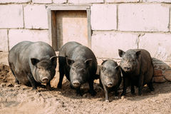 Household A Large Black Pigs In Farm. Pig Farming Is Raising And Stock Images