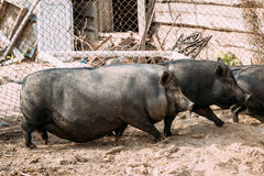 Household A Large Black Pigs In Farm. Pig Farming Is Raising And Stock Photos