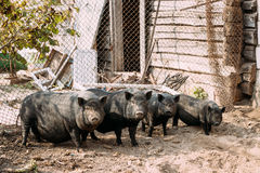 Household A Large Black Pigs In Farm. Pig Farming Is Raising And Breeding Of Domestic Pigs Stock Photo