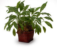 Household plant Royalty Free Stock Photography