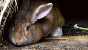 Household rabbit. In a wooden hutch Royalty Free Stock Photo