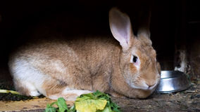 Household rabbit. In a wooden hutch Royalty Free Stock Photos