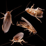 Household roaches Stock Images