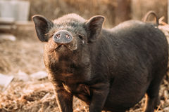 Household A Small Black Pig Sniffs Air In Farm. Pig Farming Is Stock Images