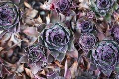 Houseleaks & X28;Sempervivum Tectorum& X29; Background - Herbal Medicine - Luxury Nature Pattern Royalty Free Stock Images