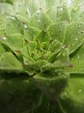 Houseleek植物, sempervivum tectorum,多汁植物-接近  免版税图库摄影