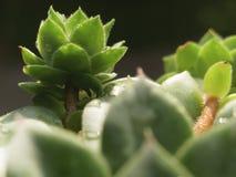 Houseleek植物, sempervivum tectorum,多汁植物-接近  免版税库存图片