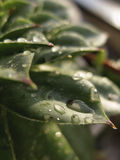 Houseleek植物, sempervivum tectorum,多汁植物-接近  库存图片