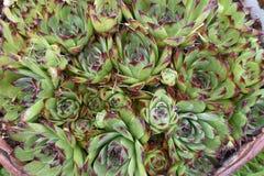 Houseleek растя в ведре Стоковые Фотографии RF