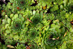 Houseleek Royalty Free Stock Photo