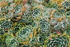 Houseleek Royaltyfria Foton
