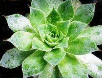 Houseleek Foto de Stock Royalty Free