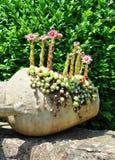 Houseleek bloeit (Sempervivum) in buikfles Stock Afbeeldingen