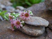 Houseleek blooms Stock Photography