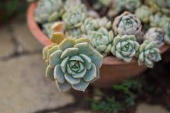 Houseleek dans le pot a également indiqué le sempervivum Photos stock