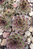 houseleek de tectorum de sempervivum Photographie stock