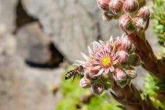 Houseleek fleurissant avec les bourgeons et l'abeille (minutum de Sempervivum) Image libre de droits