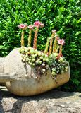 Houseleek floresce (Sempervivum) no flagon Imagens de Stock