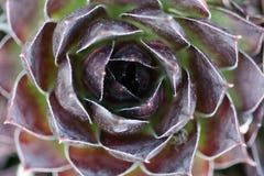 Houseleek flower Stock Images