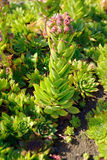 Houseleek flowers (Sempervivum) Royalty Free Stock Photos