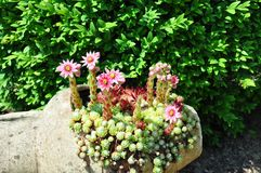 Houseleek flowers (Sempervivum) in flagon Royalty Free Stock Photos