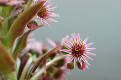 Houseleek inflorescence Stock Photography