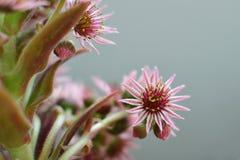 Houseleek inflorescence. Houseleek flower closeup - sempervivum inflorescence Stock Photography