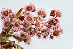 Houseleek inflorescence. Houseleek flower closeup - sempervivum inflorescence Royalty Free Stock Photo