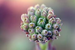 Houseleek like macro flower Stock Photography