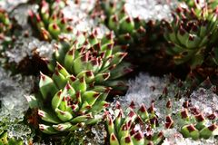 Houseleek nell'inverno fotografie stock libere da diritti