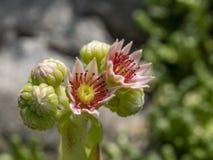 Houseleek ou trovão-planta comum, tectorum de Sempervivum imagens de stock