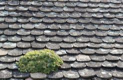 Houseleek på ett tak Fotografering för Bildbyråer