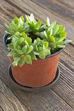 Houseleek plant in pot on wooden background Royalty Free Stock Photography
