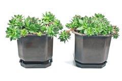 Houseleek plant (sempervivum) in pots Royalty Free Stock Photos