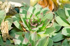 Houseleek plant - Sempervivum tectorum close up with selective focus. Stock Photography