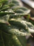 Houseleek plant, sempervivum tectorum, succulent - close up Stock Images