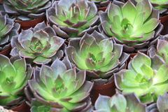Houseleek potting Royalty Free Stock Image