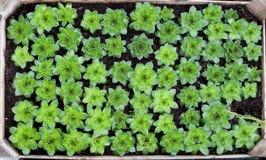 Houseleek seedlings Stock Photos