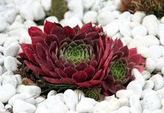 Houseleek - sempervivum Stock Photography