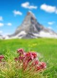 Houseleek Sempervivum del fiore della montagna in alpi svizzere Fotografia Stock