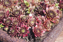 Houseleek Sempervivum tectorum Royalty Free Stock Images