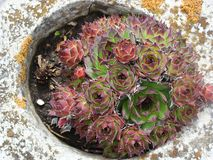 Houseleek. Sempervivum tectorum plant an ornamental plant Royalty Free Stock Photography