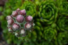 Houseleek (sp Sempervivum ) подготавливайте к цветению Стоковые Фото