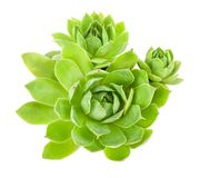 Houseleek Stock Photo