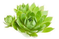Houseleek Stock Photography