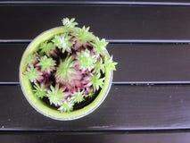 Houseleek (Viviparum spp ) auf dunkler Tabelle Stockbild