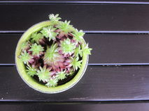 Houseleek (Viviparum spp ) en la tabla oscura Imagen de archivo